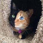 Γνωρίστε την Αφροδίτη, τη γάτα με τα δύο πρόσωπα