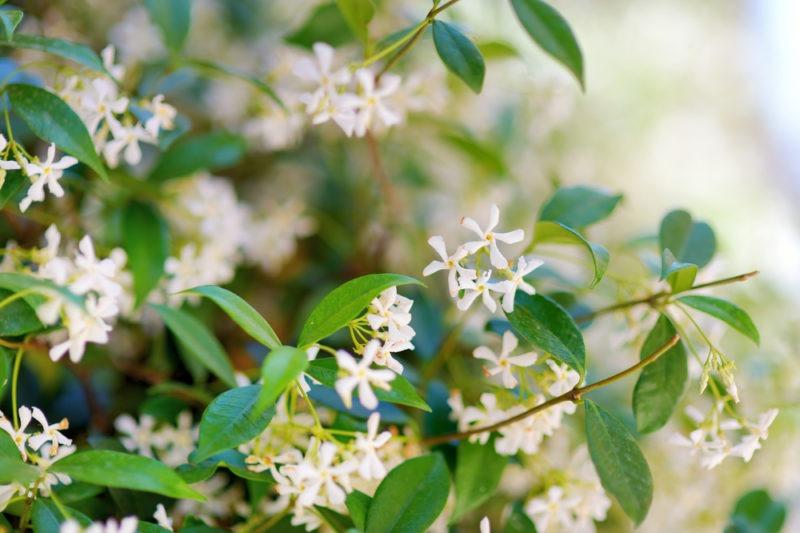 Φυτά που δίνουν θετική ενέργεια - Γιασεμί