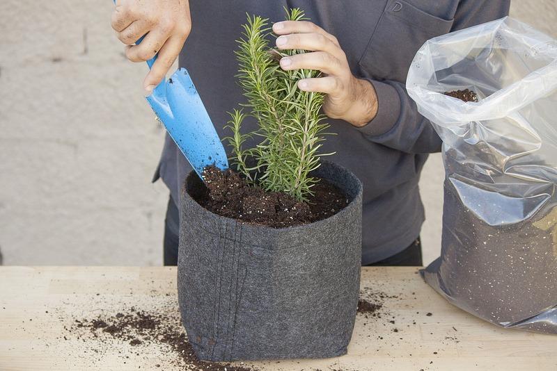Φυτά που δίνουν θετική ενέργεια -Δενδρολίβανο